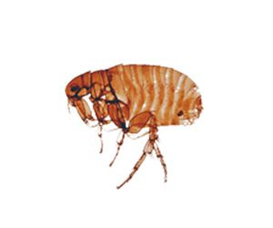 How to Get Rid of Fleas on Pets