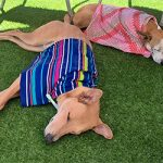 Heatstroke! Summer Days Can Turn Deadly Quickly for Overheated Dogs