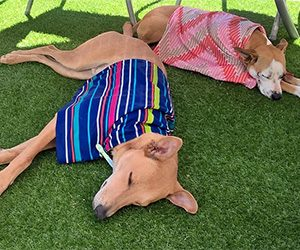 Overheating Risks for Dogs