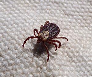 Fleas & Ticks on Pets
